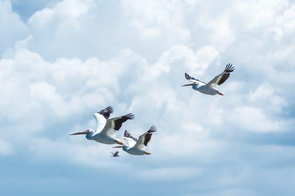 Photo d'oiseaux migrateurs
