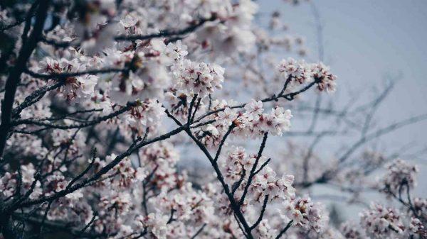 Photo arbre en fleur